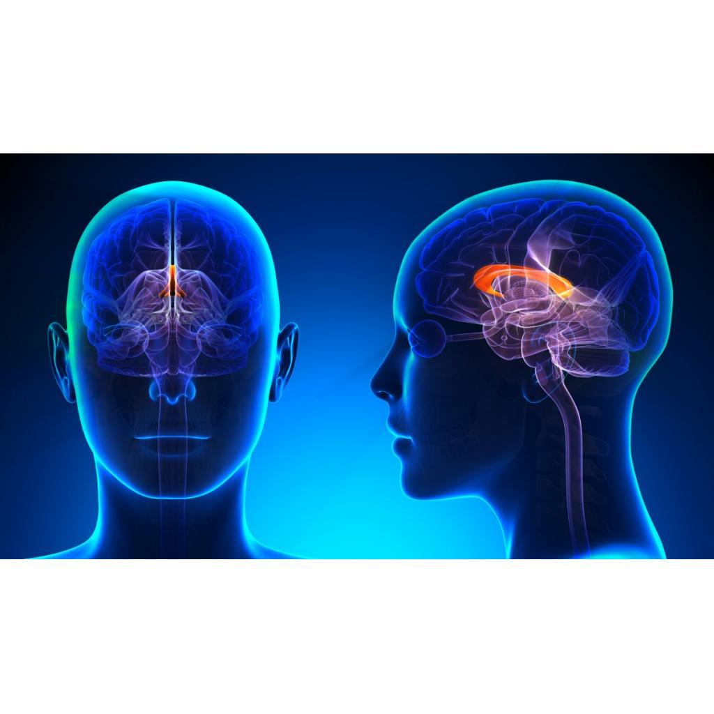 Beynimizin iki lobunu birbirine bağlayan 'corpus callosum'