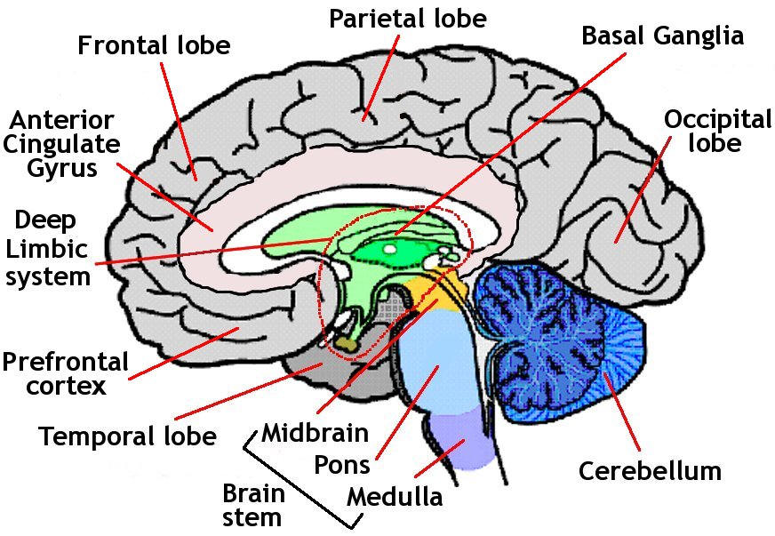 Beynin anatomik resmi